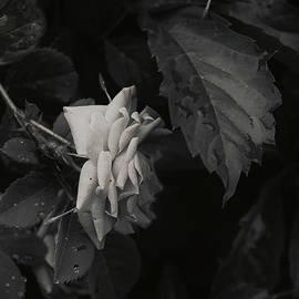 Antique Rose by Sue Capuano
