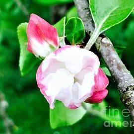 Apple Blossom For Bill by Debra Lynch