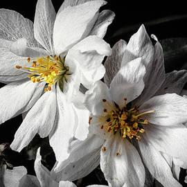 Apple Blossom by Steven Nelson