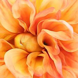 Apricot Dahlia by Susan Hope Finley