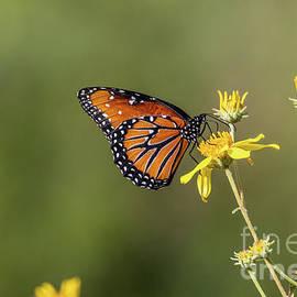 Queen Butterfly     Arizona in September   by Connie Allen