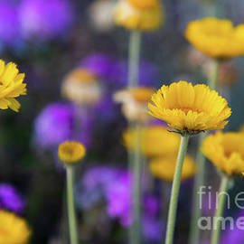 Arizona Marigolds in the Spring by Connie Allen