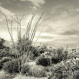 Arizona Ocotillo - Monochromatic by Anthony Ellis