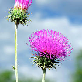 Arizona Thistle by Douglas Taylor