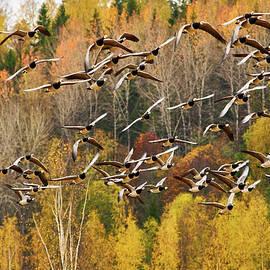 Arranging the chaos. Barnacle goose by Jouko Lehto