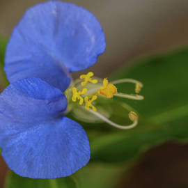 Asiatic Dayflower by Judy Vincent
