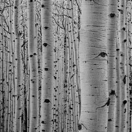 Aspen Trees by Arina Anoschenko