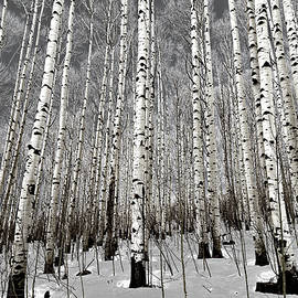 Aspen Trees in Winter by Eric Glaser