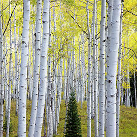 Aspens by Alex Donnelly