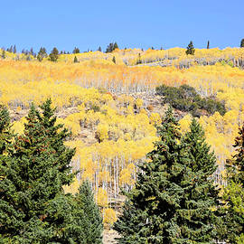 Aspens Galore by Donna Kennedy
