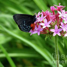 Atala Butterfly Feasting  by Julieanne Case