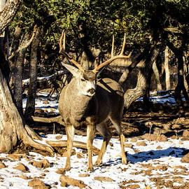 Attitude 4- Mule Deer Buck by Renny Spencer