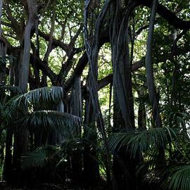 Australian Banyan tree Lord Howe Island by Alison A Murphy