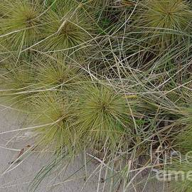 Australian Coastal Plant.....Spinifex sericeus by Lesley Evered