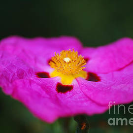 Australian Hibiscus Desert Rose by Joy Watson