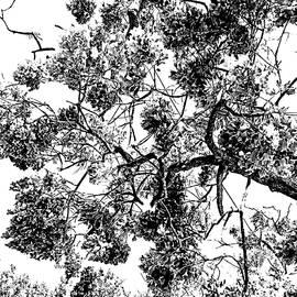 Australian  Jacaranda  Tree  B-W by VIVA Anderson