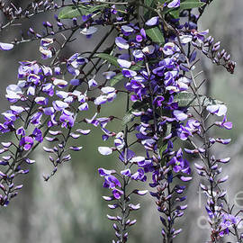 Australian Native Wisteria, Hardenbergia Comptoniana by Elaine Teague