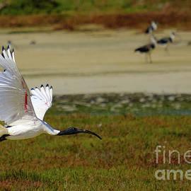Australian White Ibis In Flight by Neil Maclachlan