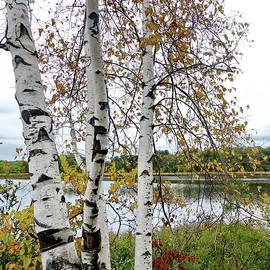 Autumn Birches by Lyuba Filatova