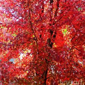 Autumn Blaze Maple Tree, Minnesota by Ann Brown