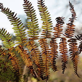 Autumn Bracken fern fronds, Pteridium aquilinum, turning yellow and brown  by Jackie Tweddle