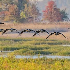 Autumn Canada Geese #2 by Morris Finkelstein