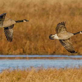 Autumn Canada Geese by Morris Finkelstein