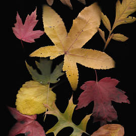 Autumn Leaves No 1 by Phyllis Taylor