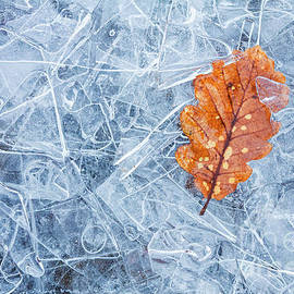 One leaf - Autumn oak leaf on layers of thin ice, Cumbria, Lake District, England by Neale And Judith Clark
