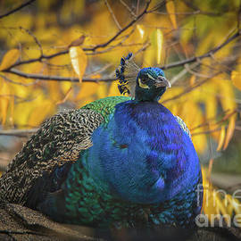 Autumn Peacock by Mitch Shindelbower
