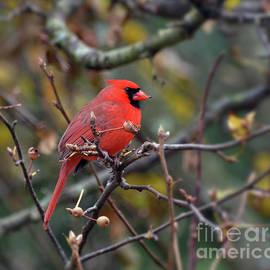 Autumn Red - A Male Cardinal by Kerri Farley
