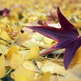 Autumn Sweetgum Leaf by Joseph Skompski