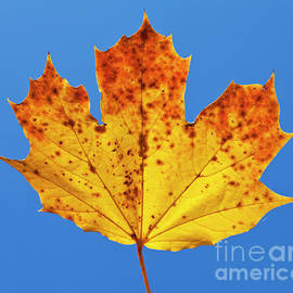 Autumn Sycamore Leaf close up against blue sky by Neale And Judith Clark
