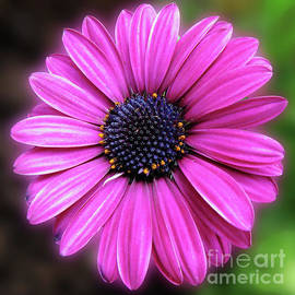 Awesome African Daisy by Kathryn Jones