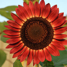 Awesome Red Sunflower by Robert Tubesing