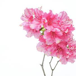 Azalea Branch by Sandi Kroll