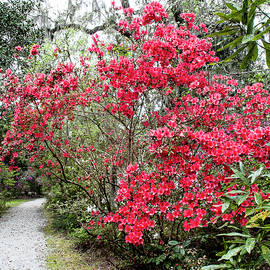 Azalea Lined Path by Norman Johnson