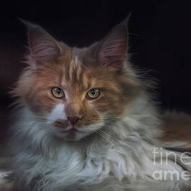 Maine Coon - Azie by Flo Photography