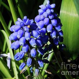 Baby Blues - Cute Grape Hyacinths by Kathryn Jones