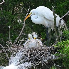 Baby Egrets Nesting With Momma by Lisa Wooten