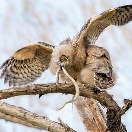 Great Horned Owlet with Snake by Judi Dressler
