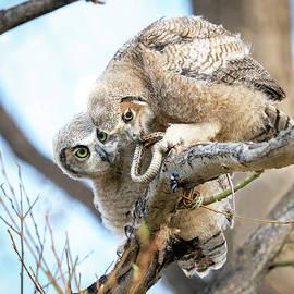 Baby Great Horned Owls with Snake by Judi Dressler