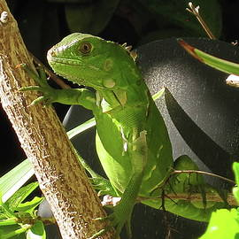 Baby Green Iguana by Lyuba Filatova