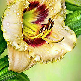 Baby Moon Cafe Daylily by Marcia Colelli