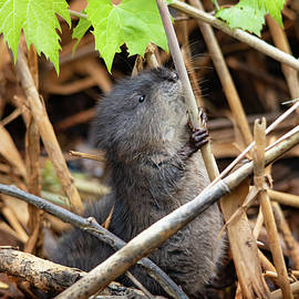 Baby Muskrat Holding On by Marlin and Laura Hum