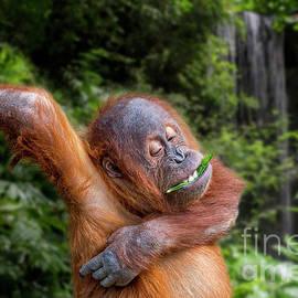Baby Orangutan in Jungle by Arterra Picture Library