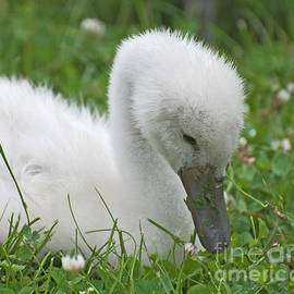 Baby Swan by Ruth H Curtis