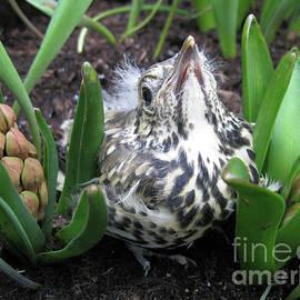 Baby Thrush Among The Hyacinths by Kathryn Jones