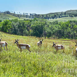 Bachelor Pronghorn Band by Catherine Sherman