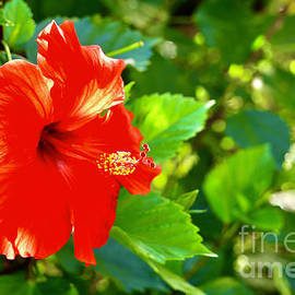 Backlit Hibiscus by Craig Wood